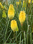 TORCH LILY OR POKER PLANT, KNIPHOFIA UVARIA `TOWER OF GOLD'