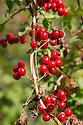 Black Bryony {Tamus communis} berries. Cambridgeshire, UK. September.