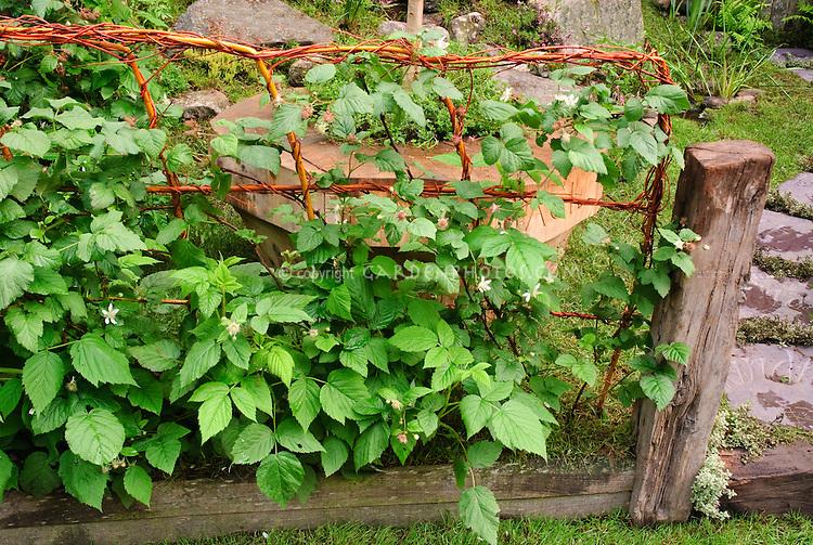 Fruit bushes on fence trellis, berries, raspberries, berry growing