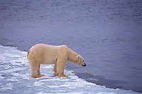 Polar bear (Ursus maritimus), Canada..Note:  This somewhat illustrates the issue of global warming--the ice has formed later and breaks up sooner in recent years in the arctic.  Since the bears do most of their hunting on the ice pack for seals this shorter duration of ice limits their hunting time.  I have read that many of the bears around Churchill weigh about 10% less than 20 years ago.