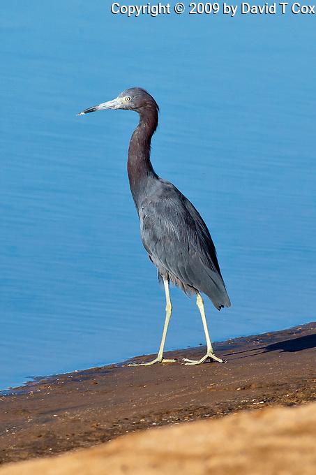 Little-Blue Heron, Guerrero Negro, Baja Sur, Mexico