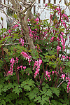 Bleeding heart several plants with flowers in garden bed vertical