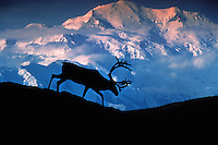 A caribou in silhouette with Mount McKinley in the background. Denali National Park, Alaska.