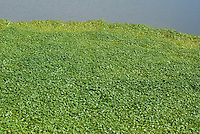 Floating marshpennywort, Hydrocotyle ranunculoides, at Abbotts Lagoon, Point Reyes National Seashore, California