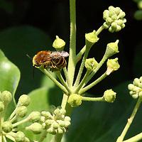 A bee by macro, that is sucking from a berry of ivy. This is an enlargement of the original photo (Tivoli, 2020).<br /> <br /> Un'ape con il macro, che sta succhiando da una bacca di edera. Questo è un'ingrandimento della foto originale (Tivoli, 2020).