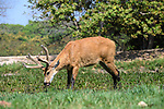 Male Marsh Deer (Blastocerus dichotomus). Pousada Araras, northern Pantanal, Mato Grosso, Brazil.