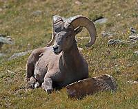 Big Horn sheep ram resting
