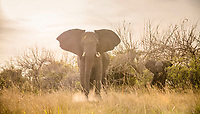 African elephants (Loxodonta africana) mother with young, Nkasa-Lupala National Park, Caprivi Region, Namibia, Africa