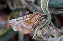 Early Thorn moth {Selenia dentaria} Oxfordshire, UK. July.