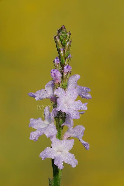 Texas Vervain (Verbena halei), blossom dew covered, Fennessey Ranch, Refugio, Corpus Christi, Coastal Bend, Texas Coast, USA