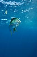 dorado, mahi mahi, or dolphin fish, Coryphaena hippurus, large bull (male), off Isla Mujeres, near Cancun, Yucatan Peninsula, Mexico (Caribbean Sea)