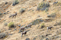 Small group of bighorn sheep (Ovis canadensis) on hillside near the John Day and Columbia Rivers in North Central Oregon.  October.  Note: These sheep were formerly known as California Bighorn, but are now classified with Rocky Mountain Bighorn.