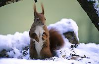 Europäisches Eichhörnchen, Eich-Hörnchen, Sciurus vulgaris, European red squirrel, Eurasian red squirrel