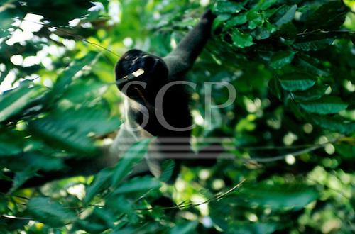 Manaus, Brazil. Woolly monkey swinging through the trees. Amazon.
