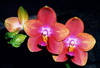 Phalaenopsis Zuma Aussie Delight 'Zuma Canyon' AM/AOS orchid hybrid of Sweet Memory x venosa, fragrant orchid