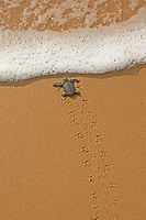 olive ridley sea turtle (hatchling), Lepidochelys olivacea, vulnerable species, returing into the sea after being born, Padampeta Beach, Rushikulya Rookery, Odisha, India, Bay of Bengal, Indian Ocean