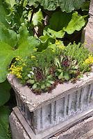 Sempervivum and sedum in concrete pot container