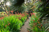 Le Domaine du Rayol:<br /> Dans le jardin d'Afrique du Sud, grand massif de chasmanthes (Chasmanthe sp.) en fleurs.