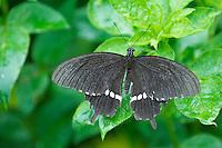 Unidentified species of Swallowtail Butterfly taken in Okinawa.