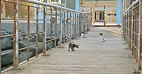 Cats wandering along a fishing deck awaiting to hunt some fish from fishermen baskets.