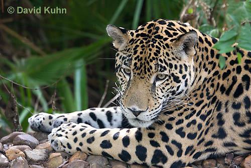0615-1106  Jaguar, Belize, Panthera onca  © David Kuhn/Dwight Kuhn Photography