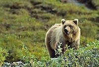 Grizzly bear, Brooks Range, Alaska