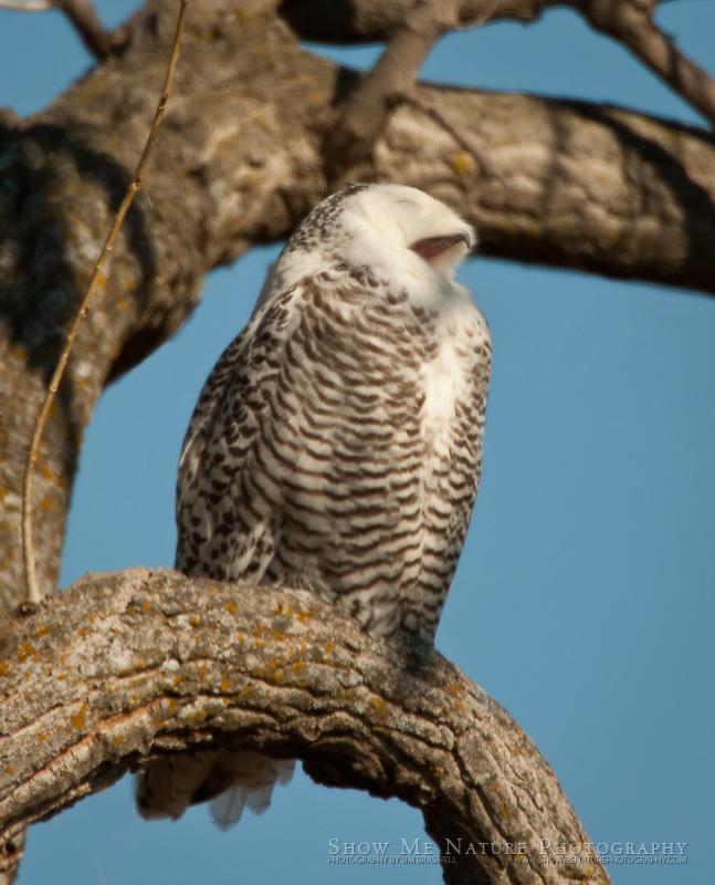 Snowy Owl, resting in tree
