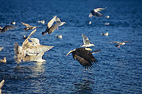 Bald eagle (Haliaeetus leucocephalus) fishing with gulls over a herring ball.