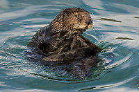 Juvenile or adolescent Southern Sea Otter.  Central California Coast.