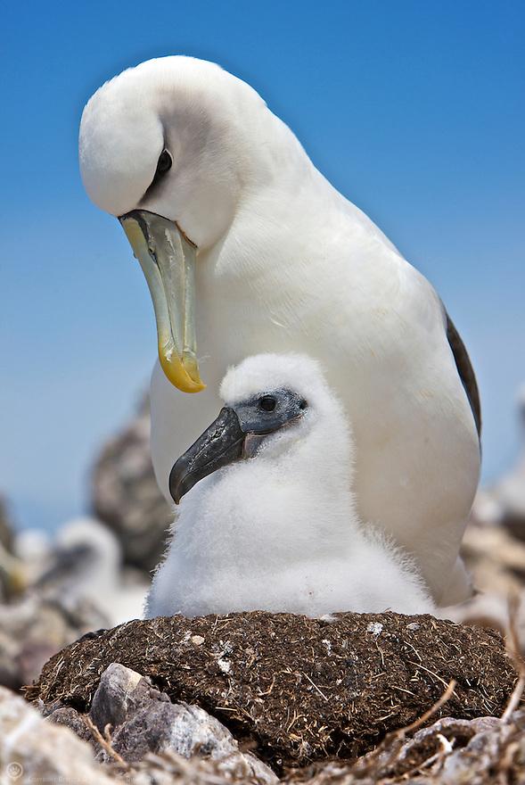 Australia, Tasmania, Bass Straits. Shy Albatross parent and chick on nest