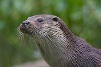 Europäischer Fischotter, Fisch-Otter, Otter, Lutra lutra, river otter