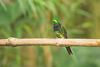 Male empress brilliant hummingbird, Heliodoxa imperatrix, perched on a branch at Refugio Paz de las Aves, Ecuador
