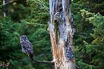 great grey owl or great gray owl (Strix nebulosa)perches near nest site, Washington