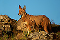 6 week old pup from the Tarura pack pauses to mimic mom as she looks for danger in the valley below.
