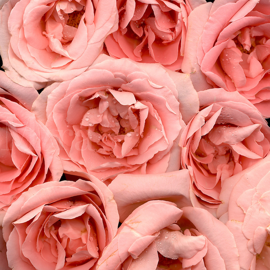 Tight grouping of a bunch of peach roses.