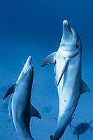 Indo-Pacific bottlenose dolphin, Tursiops aduncus, , Bonin Islands, Ogasawara, Tokyo, Japan, Pacific Ocean