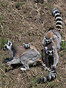 """16/05/16<br /> <br /> """"Carry me mum - I'm tired""""<br /> <br /> Three baby ring-tail lemurs began climbing lessons for the first time today. The four-week-old babies, born days apart from one another, were reluctant to leave their mothers' backs to start with but after encouragement from their doting parents they were soon scaling rocks and trees in their enclosure. One of the youngsters even swung from a branch one-handed, at Peak Wildlife Park in the Staffordshire Peak District. The lesson was brief and the adorable babies soon returned to their mums for snacks and cuddles in the sunshine.<br /> All Rights Reserved F Stop Press Ltd +44 (0)1335 418365"""