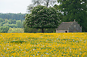Farm building seen across field of buttercups, Rousham House and Garden.