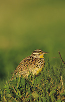 Eastern Meadowlark, Sturnella magna, adult, Willacy County, Rio Grande Valley, Texas, USA, April 2004
