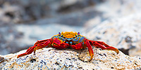 Colorful, red Sally Lightfoot crab portrait on a lava rock with blurred background, in the Galapagos Islands, Ecuador