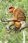 Adult male Proboscis Monkey (Nasalis larvatus) in mangrove forest. Bako National Park, Sarawak, Borneo.