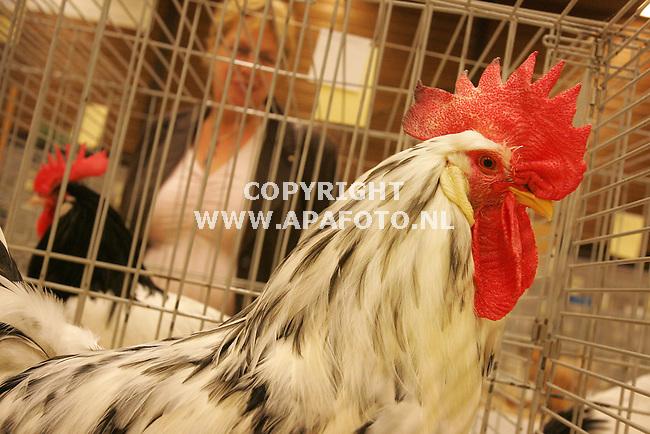 Ede, 271006<br /> De Edese Pluimvee Vereniging houdt vandaag de Kernhemshow. Enkele honderden hoenders, konijnen en vogels waren te zien. Op de foto een Hoender, een Nederlandse type Leghorn . <br /> Foto: Sjef Prins - APA Foto