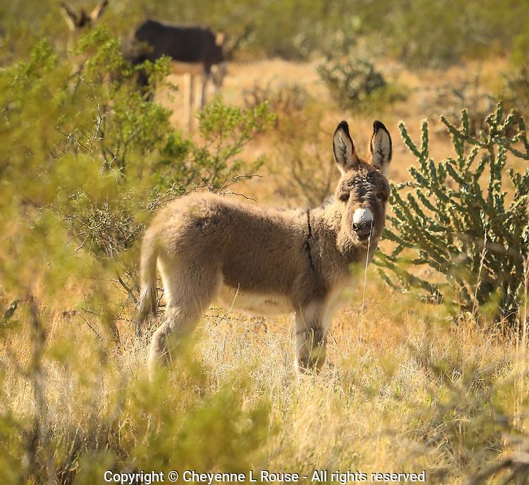 Wild Baby Burro eating a blade of grass - Arizona