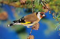 European Goldfinch, Carduelis carduelis, adult eating on cones of European Larch (Larix decidua) , Unteraegeri, Switzerland, Europe