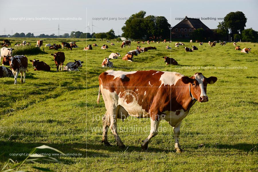 GERMANY Brokdorf, grazing milk cow / DEUTSCHLAND Schleswig-Holstein, Brokdorf, grasende Milchkuehe