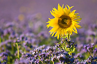 Sunflower in a violet field