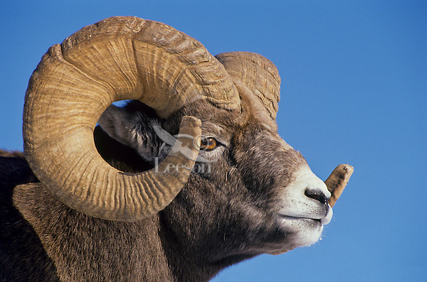 Mature Bighorn Sheep Ram (Ovis canadensis).  Northern Rockies, Late Fall.