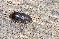 Schwarzkäfer, Stenomax aeneus, darkling beetle, Schwarzkäfer, Dunkelkäfer, Tenebrionidae, darkling beetles, flour beetles, mealworm beetles