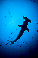 silhouette of scalloped hammerhead shark, Sphyrna lewini, Cocos Island, Costa Rica, Pacific Ocean