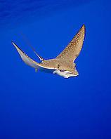 spotted eagle ray, Aetobatus narinari, Kona Coast, Big Island, Hawaii, Pacific Ocean